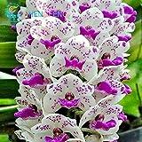 Auf Verkauf. 100Phalaenopsis-Orchidee Samen Schmetterling Orchidee Samen SELTEN Wunderschöner Blumensamen Haus und Garten Shown In Desc blau