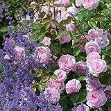 David Austin, Rosenpflanzen, Englische Rose 'Olivia Rose Austin', 1 Pflanze, 2,0 L Container, Höhe: ca. 30 - 40 cm, angenehmer Duft
