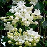 Plantes grimpantes Jasmine Flower Seed blanc jasmin Graines vivaces plantes odoriférantes Bonsai Pour jardin Arbre Sementes 20pcs / sac jaune