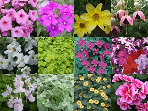 Hanging Basket Mixed Summer Collection 10 plug plants from Plugplants4u