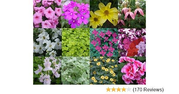Pack x12 Trailing Million Bells Calibrachoa Petunia Mixed Colours Plug Plants