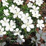 Heidenelke Alba - 3 pflanzen
