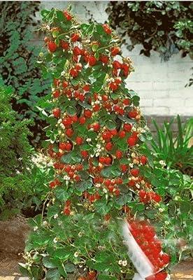 Exotic Plants Riesen Kletter-Erdbeere - Strawberry Giant Red Climbing - 30 Samen von Exotic Plants bei Du und dein Garten