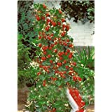 Strawberry Giant Red Climbing - - 30 semillas