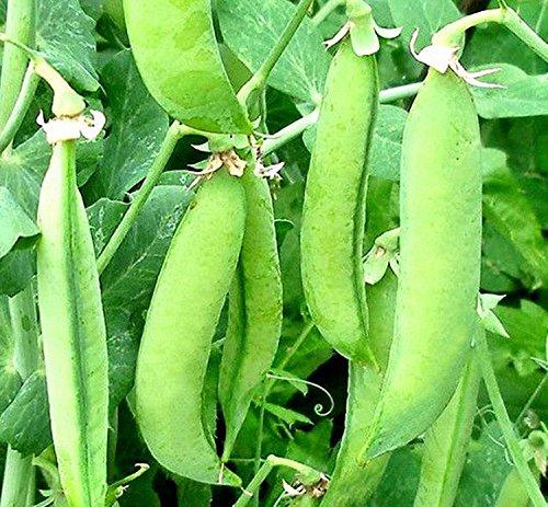 Samen Grüne Bush Pea Skinado Organically Russisch Erbstück Gemüse Grown -