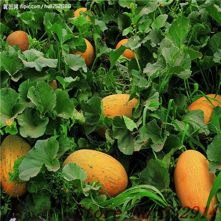 La vente chaude 50 stations de semis de graines de melon Cantaloupe semences végétales de fruits Plantation de semis douce Crujiente balcon