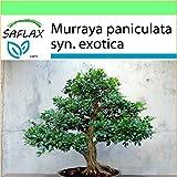 SAFLAX - Garden to Go - Naranjo jazmín - 12 semillas - Murraya paniculata syn. exotica