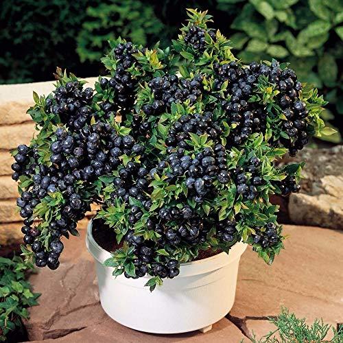 pinkdose 500 semi/pack semi di mirtillo nero perle piante bonsai di semi di frutti commestibili farm giardino domestico di diy mirtillo