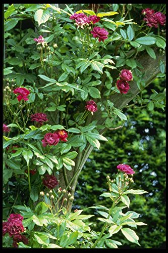 131083 Rambler Rose _Adelaide D'Orleans_ On Pergola A4 Photo Poster Print 10x8 (Rose Orleans)