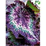 100 PC mezcladas Semillas Semillas Bonsai Begonia de flor Patio Balcón coleo Semillas Begonia colorido plantas en macetas para jardín 7