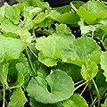 lichtnelke - Gotu Kola ( Centella asiatica / Hydrocotyle asiatica ) Tb9 von Lichtnelke Pflanzenversand bei Du und dein Garten