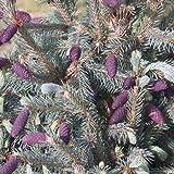 Picea engelmannii var.glauca - Maceta de 7Litros