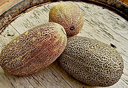 10 Samen ind. Netzgurke 'SIKKIM', Freilandgurke, Poona kheera, sehr ertragreich