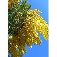 Tropica Lot de 35 semences de mimosa d'hiver (Acacia dealbata)