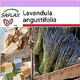 SAFLAX - Heilpflanzen - Echter Lavendel - 150 Samen - Lavandula angustifolia