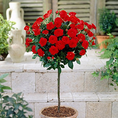 patio-standard-roses-pair-red-60cm-tall-bare-root