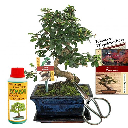 "Gift set bonsai ""Carmona"" - Fukientee - approx. 8 years old - beginner set"