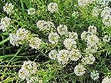 Pinkdose Fragrante fiore Bonsai Hornsey palla, bianco spezia palla di neve Bonsai, dolce alisso, circa 60 particelle