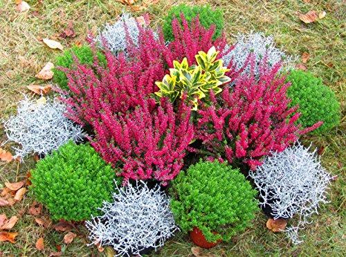 Grabbepflanzung Pflanzen-Set Urnengrab oder Einzelgrab 15 winterharte mehrjährige Pflanzen für die perfekte Grabgestaltung