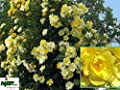 Ramblerrose Golden Age ® Adadenoj ® im großen 7,5 ltr Topf von Gartencenter Bartels auf Du und dein Garten