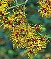 BALDUR-Garten Zaubernuss, 1 Pflanze Hamamelis mollis Pallida Winterblüher von Baldur-Garten - Du und dein Garten