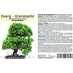 Seedeo® Zwerg-Granatapfel (Punica granatum nana) Bonsai 30 Samen