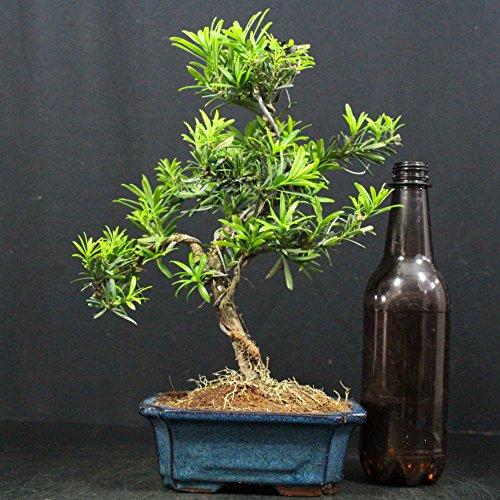 Steineibe, Podocarpus macrophyllus, 9 Jahre, Höhe 25 cm