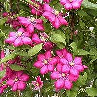 Pets Delite® 2 raíz desnuda/rizoma de Clematis Rouge Cardinal Flowering Vine