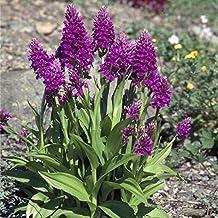 Pink-mauve Garden Orchid ❀ Dactylorhiza purpurella ✿ Easy Garden