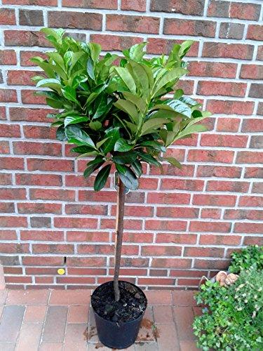 Kirschlorbeer Hochstamm - Prunus Rotundifolia, Höhe: 130-140 cm, immergrün