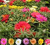 75+ MOSS ROSE MIX/PORTULACA/SUCCULENT/ANNUAL SEEDS FLOWER/Bodendecker