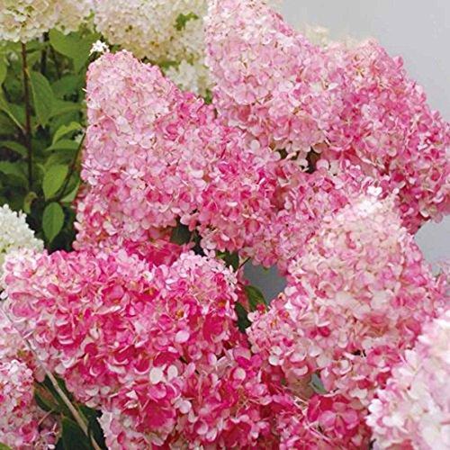 20pcs / semi Beauty Bag Fragola Ortensia fiori per il giardino domestico Seminare