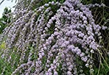 Portal Cool Buddleja Alternifolia - Buddleia Weeping Schmetterling Bush, Pflanze In 9cm Topf