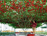 M-Tech Gardens - Daffodil Gardens Hybrid Indian Climbing Tomato 100 Seeds Pack