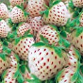 Weiße Ananas-Erdbeere Zuckersüsse Kreuzung Fragaria 3 Pflanzen von Lifestyle-Hamburg Pflanzenraritäten auf Du und dein Garten