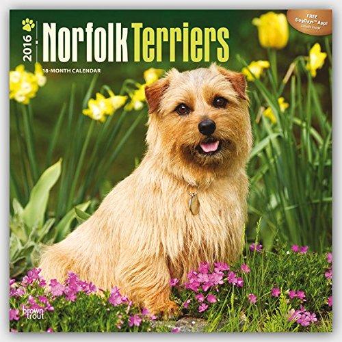 Norfolk Terriers 2016-18-Monatskalender mit freier DogDays-App: Original BrownTrout-Kalender [Mehrsprachig] [Kalender] (Wall-Kalender) (Terrier Norfolk)