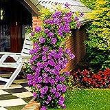 Yukio Samenhaus - 200 Stück Kletterrosen Lila Rambler-Rose, für Rankhilfe, Party, Hochzeit, Balkon, Fenster, Garten