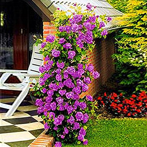 Ncient 200 pcs/Sac Graines Semences de Roses Grimpantes Graines de Fleurs Graines à Planter Plante Rare de Jardin Balcon Parfumé Belle Floraison Bonsaï en Plein Air pour l'Intérieur et l'Extérieur
