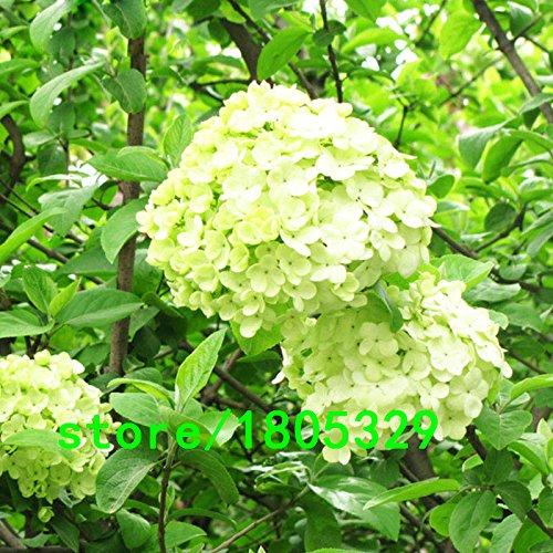 Vendita calda rari luce verde ortensia Seeds balcone Bonsai Fort Viburnum Hydrangea macrophylla Bons