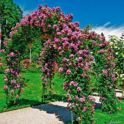 Ramblerrose 'Veilchenblau®'