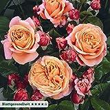 """Kölle's Beste Edelrose """"Mary Ann®"""" - apricotfarben blühende, nach Pfirsich duftende Topfrose im 6 L Topf - frisch aus der Gärtnerei - Pflanzen-Kölle Gartenrose"""