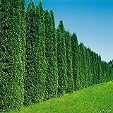 60 Stück Thuja occidentalis Smaragd für 20 Meter Hecke- Lebensbaum winterhart & pflegeleicht - Thujen-Hecke als Sichtschutz - 60 Heckenpflanze 60-80cm - 60 Pflanze im Container von Garten Schlüter