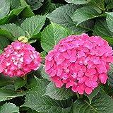 20 teile/paket Hortensien Samen Hortensien Pflanze Samen Bonsai Blumensamen Mehrjährige Garten Pflanzesamen in 10 Farben