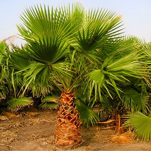 special-deal-mexican-fan-palms-washingtonia-robusta-for-patio-or-deck-approx-100-140cms-tall