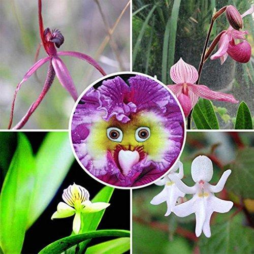 Ncient 100 Semi Sementi di Orchidea Faccia di Bebè Orchid Perennial Flower Semi di Fiori Rari Piante Profumati per Orto Giardino Balcone Interni ed Esterni Decorazione della Finestra