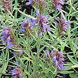 Blumixx Stauden Hyssopus officinalis - Apotheker-Ysop, im 0,5 Liter Topf, violett blühend