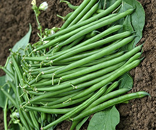 Bobby-Seeds Bohnen-Samen Crockett fadenlose Buschbohne Portion
