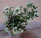 #4: Chalcas Japanensis Scented Flowers Jasmine Seeds - A very good shrub 10 Seeds by Creative Farmer