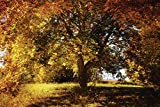 Artland Qualitätsbilder I Wandtattoo Wandsticker Wandaufkleber 120 x 80 cm Landschaften Wald Foto Orange C6GZ Goldener Herbstbaum