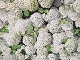 Baumwollstoff mit herrlichen weißen Hortensien, Shabby,